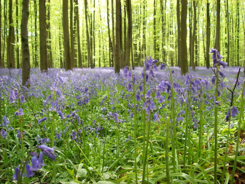 bluebell forest 2.jpg