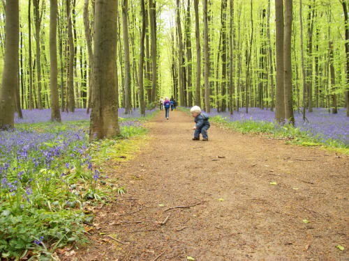 bluebell forest 3.jpg